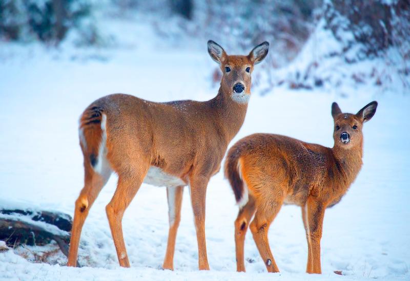 doe a deer landscape printing